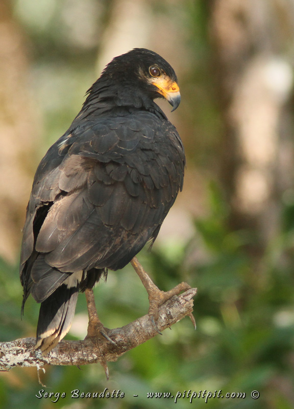 Nous contemplerons plusieurs spécimens de variétés d'oiseaux spécialisées et associées à la mangrove... dont, la Buse des mangroves (Buse noire maintenant!)