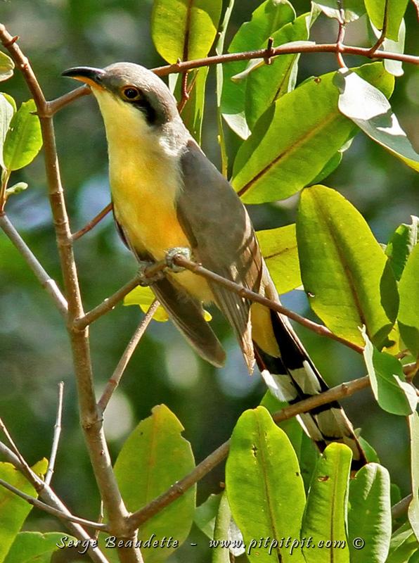 Le timide mais collaborateur pour cette fois: Coulicou manioc (Mangrove Cuckoo)!