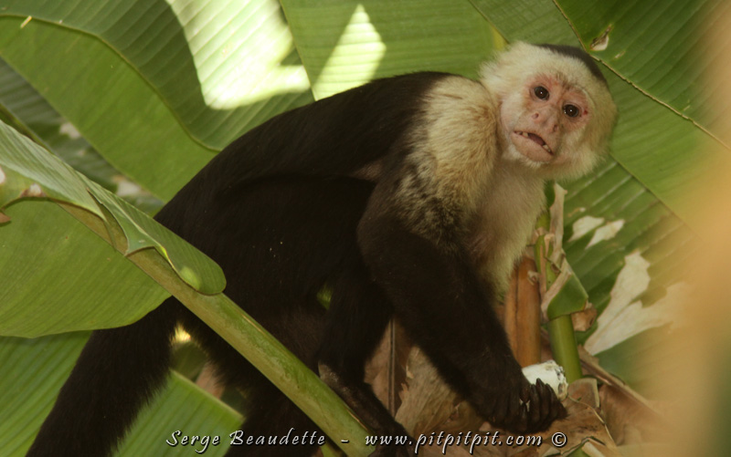 C'est dans cette partie de la forêt que nous rencontrons le 3e et dernier singe que nous pouvons observer dans ce circuit, le Capucin à face blanche!!! HYPER intelligent, les scientifiques le classent étonnamment au même niveau que les grands primates comme les Bonobos et les Chimpanzés.