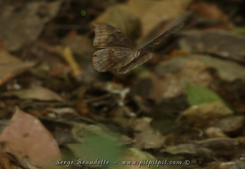 (Suite) Alors que je n'avais jamais réussi à photographier le Morpho bleu en nature, là, j'y étais arrivé, mais les ailes fermées! Là, avec un grand mélange de CHANCE, de PATIENCE et de PRATIQUE, j'ai réussi, malgré les très mauvaises conditions, la faible luminosité de fin du jour, et dans un sous-bois très dense de cette forêt secondaire, à le prendre EN VOL (!!!) de façon potable… et DESSUS, DESSOUS!