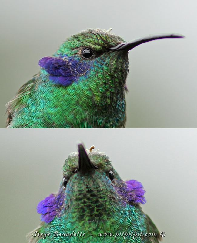 """...Le nom anglais du Colibri thalassin est: Green Violet-Ear (""""à oreilles violettes"""") et ce n'est que lorsqu'il communique, et davantage un langage de """"guerre"""" qu'il montre ses """"oreilles"""" (plutôt les plumes de ses joues!) C'est plutôt rare et j'adore quand il fait ça!!! J'étais bien content de l'immortaliser à 1 mètre de moi, pour vous!!!"""