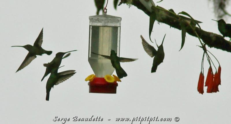 """Les colibris visitent les abreuvoirs par vagues (bien qu'il y en ait toujours quelques-uns sur chaque abreuvoir). Pour vous donner un bel aperçu du phénomène, je vous ai concocté un petit vidéo de... """"PLUSIEURS SECONDES"""" justement!!!"""