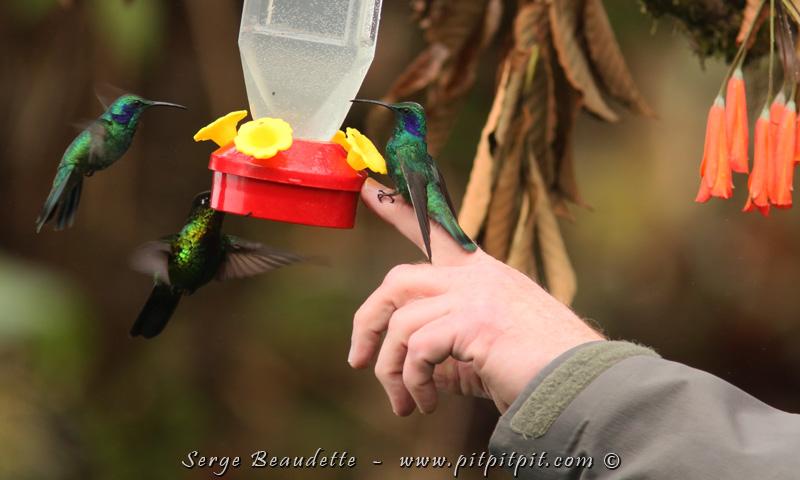 Véritable PARADIS du colibri, il y en a tant! Pierre a même offert, en perchoir, son doigt, pour le repos des colibris! Un Colibri thalassin l'a littéralement adopté de très longues secondes!!! (Dans le monde des colibris, le temps se calcule en secondes uniquement!)