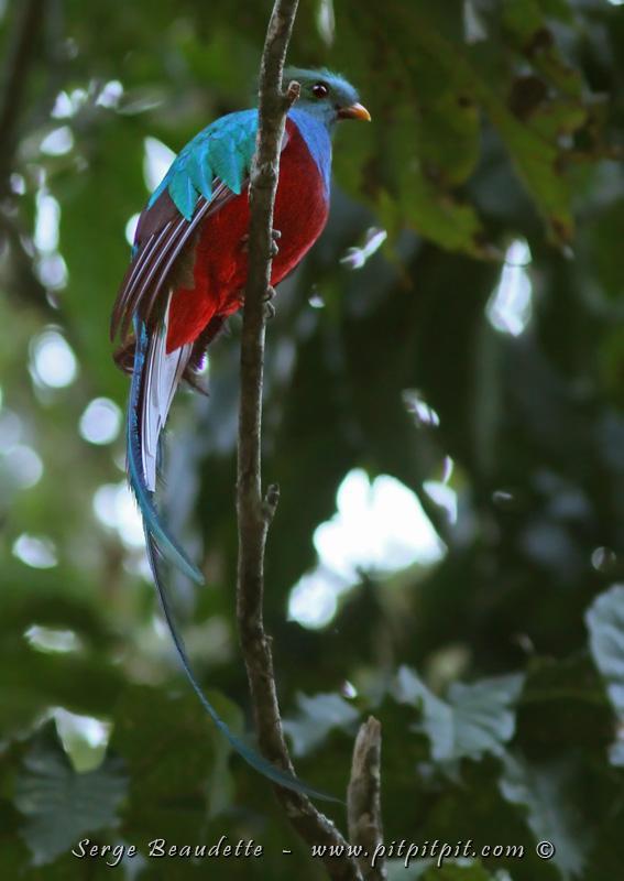 Nous sommes heureux de le voir enfin de face pour voir sa poitrine de velours rouge… et ses «mains» vertes sur les flancs! (Quetzal resplendissant)