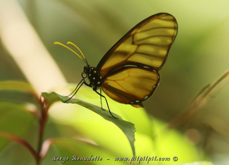 Papillon aux ailes translucides