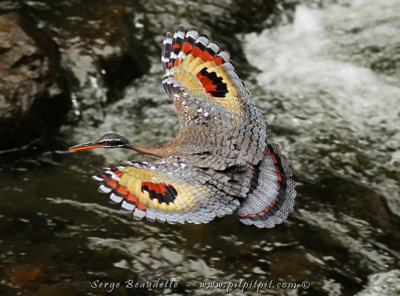 VOILÀ!!!!!!!!!! J'étais prêt et je surveillais ce moment depuis déjà une bonne dizaine de minutes... appareil levé... les bras presque morts...! Il est passé d'une roche à une autre qui était assez loin pour justifier d'ouvrir les ailes!!! Voilà pourquoi il s'appelle la Caurale SOLEIL!!! Ses ailes, qu'il peut ouvrir aussi quand il se sent menacé, forme un énorme visage avec 2 grands yeux! C'est d'une beauté impressionnante... sur un oiseau qui ne laisse pourtant rien présager!