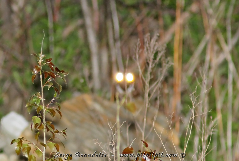 Nous entendrons une douzaine d'Engoulevents bois-pourris, mais les deux seuls individus que nous verrons, ce sera parce que les phares de la voiture fait illuminer leurs yeux comme sur cette drôle de photo!!!