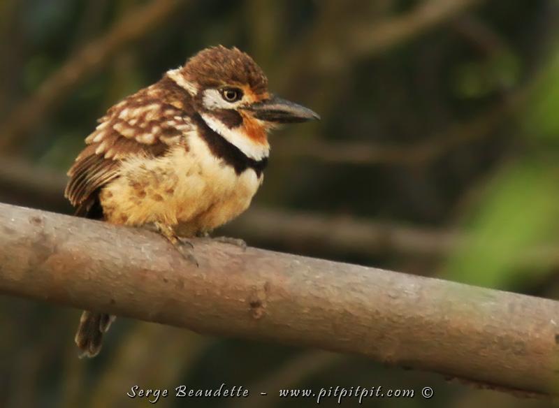 Les oiseaux des basses terres inondables de la rivière Magdalena… (Tamatia à gorge rousse)