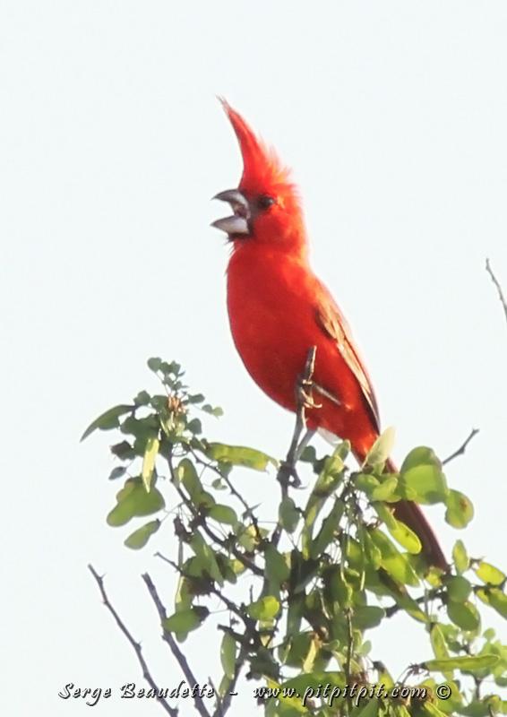 Et le plus spectaculaire des oiseaux de la journée, attendu de tous et toutes : le Cardinal vermillon. Aussi un endémique régional! Il ressemble à notre Cardinal rouge mais avec une huppe mes amis! À rendre jaloux n'importe quel mâle Nord-Américain! Une beauté exceptionnelle! À noter que la femelle est MAGNIFIQUE elle aussi!!!