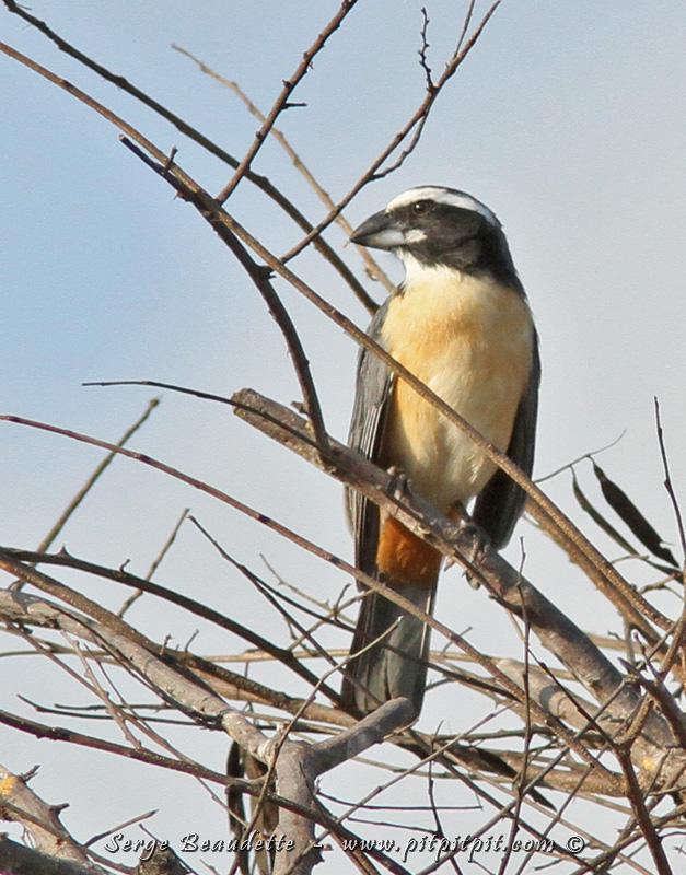 À cause des conditions rudes de l'endroit, les oiseaux se sont ultra spécialisés et ne s'étendent nulle part ailleurs. C'est ce qui fait qu'il y a plusieurs endémiques très localisés. C'est le cas aussi du Saltator de l'Onéroque.