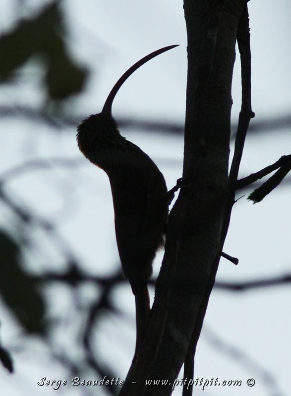 Le bec hyper long et surtout très courbé du Grimpar à bec rouge est une adaptation à sa manière de s'alimenter, en cherchant des insectes dans les mousses et les lianes!