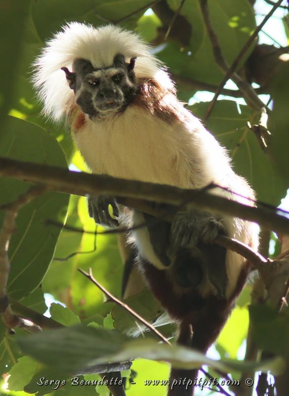 Les spécialités, (et pas juste des oiseaux!), dont la TRÈS GRANDE RARETÉ MONDIALE du Tamarin pinché, en territoire autochtone Kogi…
