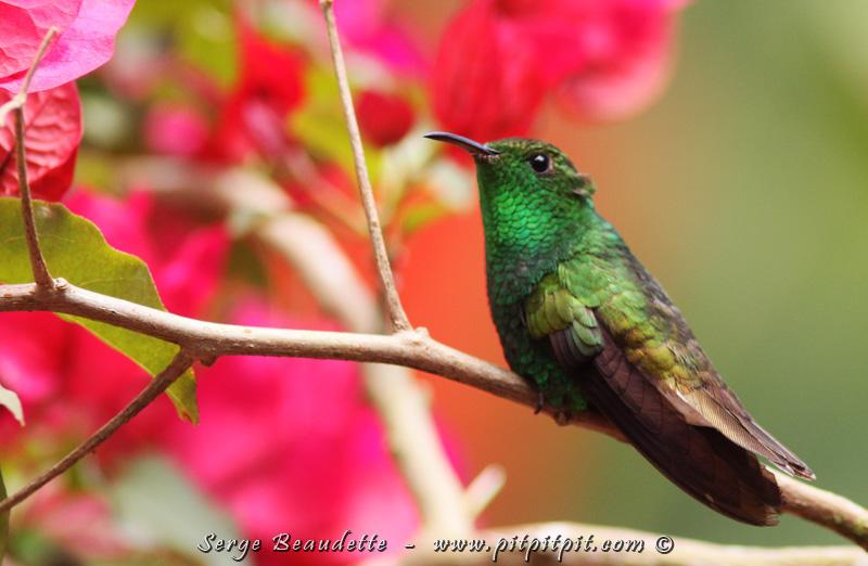 Nous verrons une dizaine d'espèces de colibris juste ici(!) et, de ce nombre, celui qu'il ne faut pas manquer : le minuscule Colibri à tête cuivrée qui est notre tout premier ENDÉMIQUE sur les 3 endémiques continentaux de tout le pays! Dans ce circuit, nous devrions les voir tous les 3!