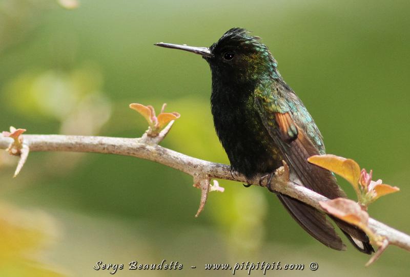 Un tout petit colibri, très original, sur le même format exactement que le précédent, mais avec des couleurs uniques : le Colibri à ventre noir!