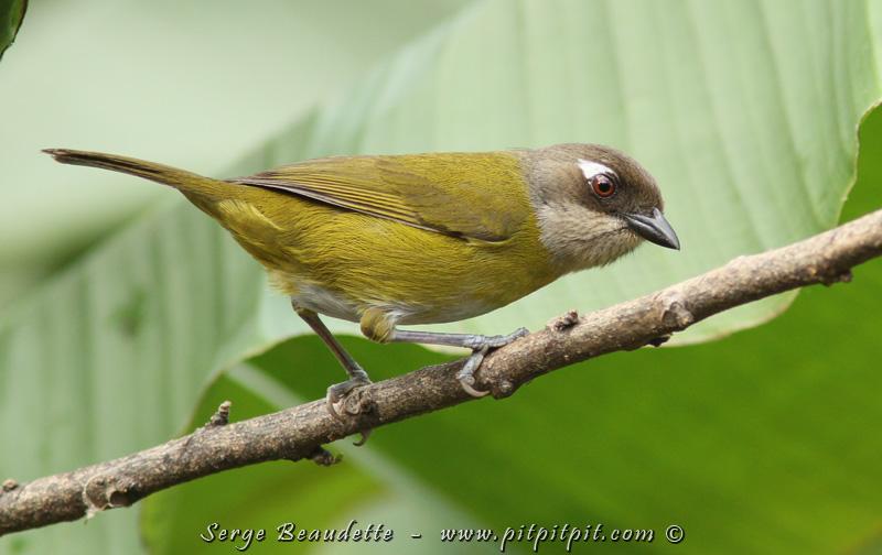 Jamais 2 sans 3, non pas un calliste, mais tout de même un autre oiseau de ronde, le Chlorospin des buissons, avec sa petite larme derrière l'œil… Je vous avoue que ça prend tout un temps pour certaines personnes à retenir ce nom peu usuel…