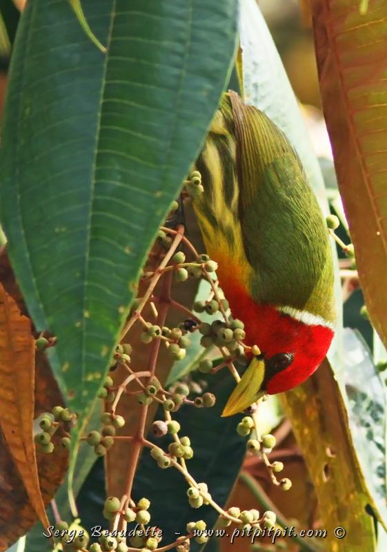 Au même endroit, un arbre avec des petits fruits murs attirent énormément d'oiseaux… ET! …roulement de tambour… contre toute attente… celui que nous avions manqué à la Cinchona le tout premier jour : le MAGNIFIQUE et impressionnant Cabézon à tête rouge, vient nous faire une courte mais surprenante visite!!!