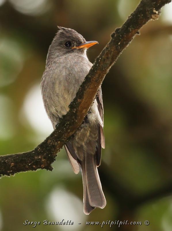 Si je ne m'abuse, c'est une toute première photo que je présente ici sur le blogue, de cet oiseau : le Moucherolle ombré! Un oiseau qu'on voit à chaque voyage mais pas en quantité… et souvent, il est loin. Mais là, il traîne en permanence autour de nos cabines!