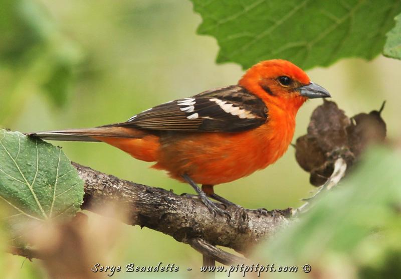 …Notre séjour au paradis se poursuit!!! Tout plein de chants, d'oiseaux, comme ce splendide Piranga à dos rayé dont le mâle est rouge-orangé, et la femelle, jaune! Son chant ressemble beaucoup à notre aussi coloré Piranga écarlate…!