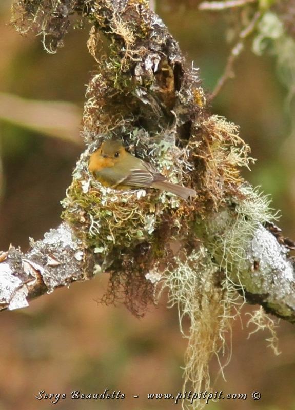 Et nous avons plein de CADEAUX!!! Par exemple, ce magnifique petit nid fabriqué avec du lichen et complètement dissimulé dans la nature, rappelant un nid de colibri! Un petit nid de Moucherolle huppé! Il est d'ailleurs assis sur son nid ici… Et comme nous sommes très surélevés par rapport au nid, quand l'adulte qui couve part du nid, nous pouvons voir 2 beaux petits œufs!!!