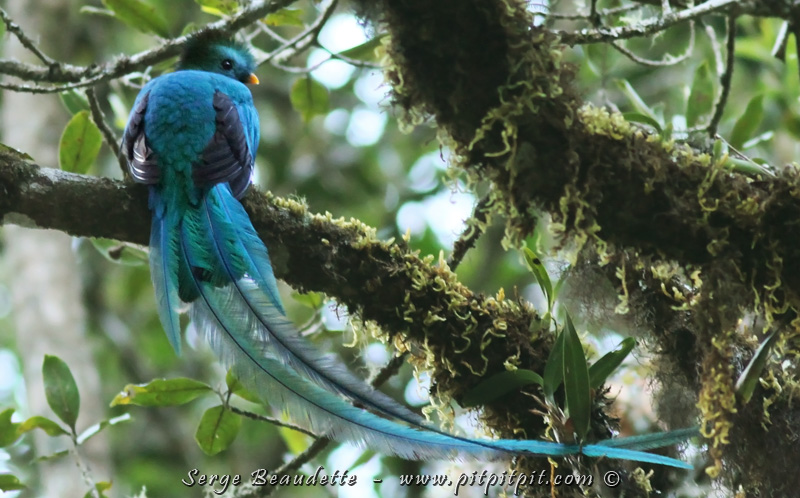 Quel oiseau MAGNIFIQUE!!!! Je suis certain qu'il ne sort pas d'un œuf mais sans doute d'un nuage, ou d'un arc-en-ciel! Ce n'est pas un être Terrestre… Parlant d'œuf, j'ai trouvé un nid derrière un tronc! Ils font leur nid comme les pics dans des chicots de chênes centenaires!!! C'est là la raison de toute cette mascarade! Les batailles territoriales, les compétitions pour séduire la femelle… Ah! Tiens donc! Ils sont peut-être des êtres terrestres finalement…! Bien plus satisfaisant que la statistique, nous préserverons encore notre réputation par un spectacle à la hauteur de ce qu'on peut s'attendre du Quetzal resplendissant!