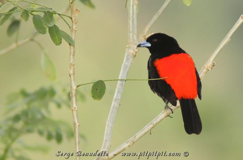 Fascinant! Nous venons de basculer dans le sud du pays, versant Pacifique de la Cordillère... ce qui fait que nous nous retrouvons face à une nouvelle espèce, dont le mâle est identique au Tangara à croupion rouge qu'on a vu en abondance côté Carraïbes... il s'agit du Tangara du Costa Rica! ...Bien que le mâle soit en TOUS POINTS IDENTIQUE au mâle du versant Carraïbes, il n'en est pas de même pour la femelle...