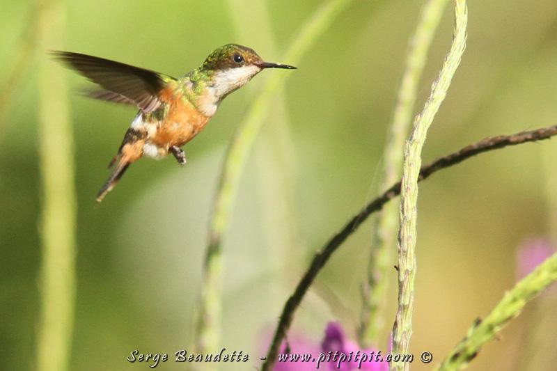 """Ici, j'étais dans le FORT DÉSIR d'observer une espèce HYPER spéciale... un tout petit COLIBRI de la famille très recherchée des """"Coquettes"""", la Coquette adorable (qui porte très bien son nom!), très rare, mais qui fréquente l'endroit. Par le passé, je ne l'ai vu qu'une fois, une femelle, mais très haut, au sommet d'un arbre gigantesque en fleurs. Un tout petit oiseau, très haut dans un arbre... YÉ!!!!!! In extremis, nous le voyons, mais c'est une femelle (le mâle est TRÈS SPECTACULAIRE!)... Mais cette fois-ci au moins, nous la voyons de près!"""