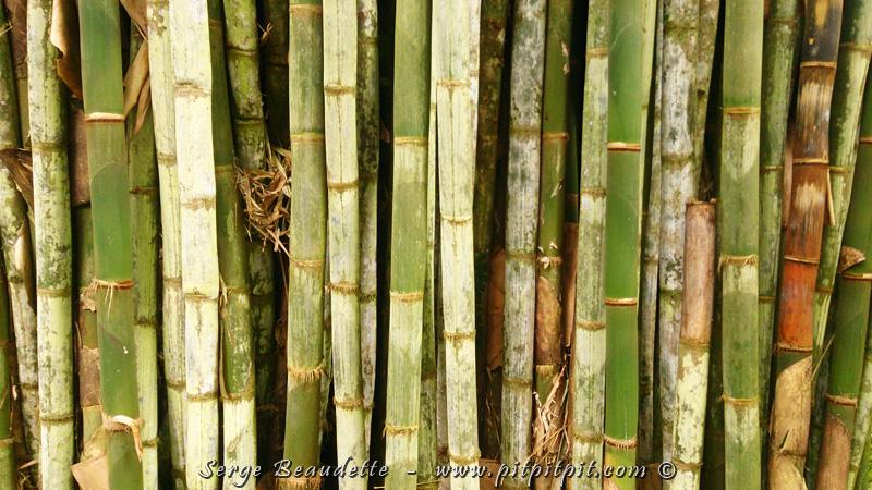 ...Aussi, la forêt (ET DE LOIN!) la plus dense que j'ai vu de ma vie!!! On dirait des tronc de bambou coupés, des piquet et empilés les uns sur les autres... mais non, c'est une énorme talle de bambous vivants, et je ne pourrais même pas me glisser un doigt entre 2 troncs!