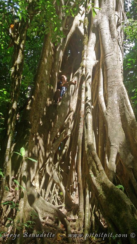 """Et une des plus belle découvertes botaniques du jour est cet énorme """"Figuier étrangleur""""... Pour apprécier la taille de ce géant, regardez-moi, juché sur son tronc sur la photo! Si vous suivez mon blogue depuis un moment, vous vous souviendrez de la photo de l'Organiste élégant que j'avais publié avec les graines qu'il disséminait par ses fientes sur les branches des arbres... La graine de ce figuier a commencé à se développer en plante sur une branche et a envoyé des racines aériennes en direction du sol... Ces racines se sont enfoncés dans le sol, et de façon progressive, le figuier a pris de la force et de l'importance... tellement, qu'il en a envahis et éventuellement étranglé l'arbre """"hôte"""" qui l'avait accueillis bien malgré lui... (à suivre)"""