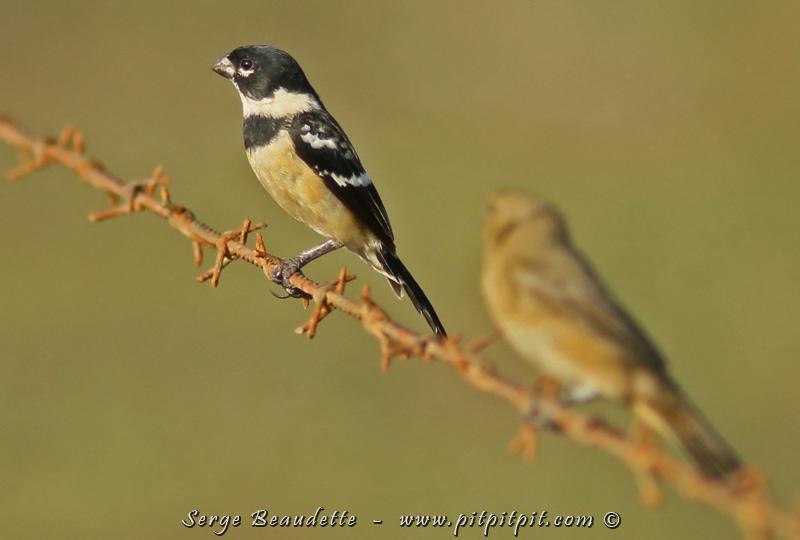 Nous verrons aussi mâle (à gauche) et femelle (à droite) du Sporophile à col blanc, une autre espèce assez commune dans les zones ouvertes du versant pacifique...