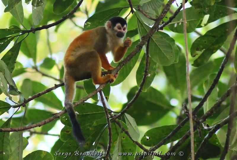 """En arrivant dans la Péninsule d'Osa, ce coin reculé et très sauvage du pays, nous avons une chance d'observer une espèce de petit singe, la plus petite des 4 espèces du pays, et beaucoup plus rare... Une espèce très menacée même: le Singe écureuil, appelé en espagnol le """"Titi""""! ...Alors que je ne l'ai vu qu'une fois par le passé, et brièvement à la brunante, je n'ai même pas porté les bagages qu'il est là!!!!!!"""
