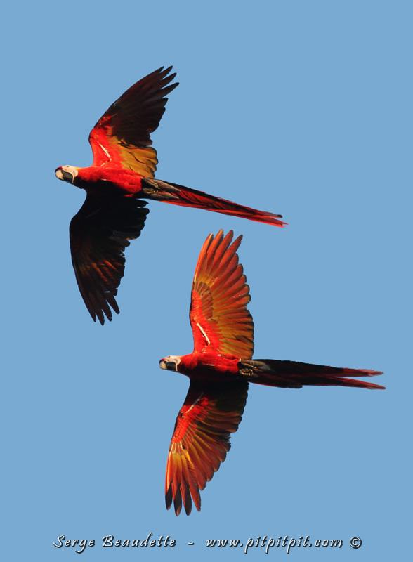 ...Les conditions classiques de l'observation des Aras rouges, toujours en couple, presque toujours au dessus de nos tête... Flamboyants oiseaux d'un mètre de long! La région où nous sommes est un refuge pour cette espèce menacée.
