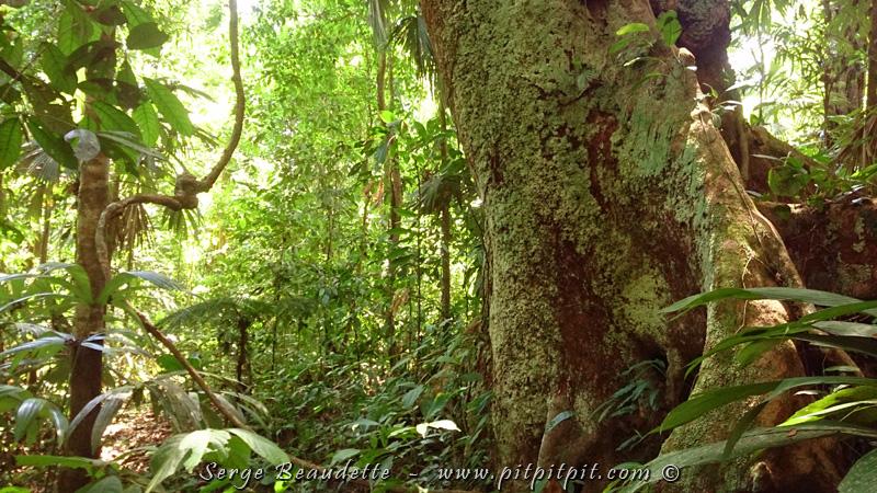 Ce matin, tôt avant le déjeuner, et après aussi, nous allons explorer cette forêt grandiose (c'est tellement le moins qu'on puisse dire! Regardez ce grand sage et cette forêt primaire!) à la recherche des espèces uniques qu'elle abrite... C'est magnifique partout!