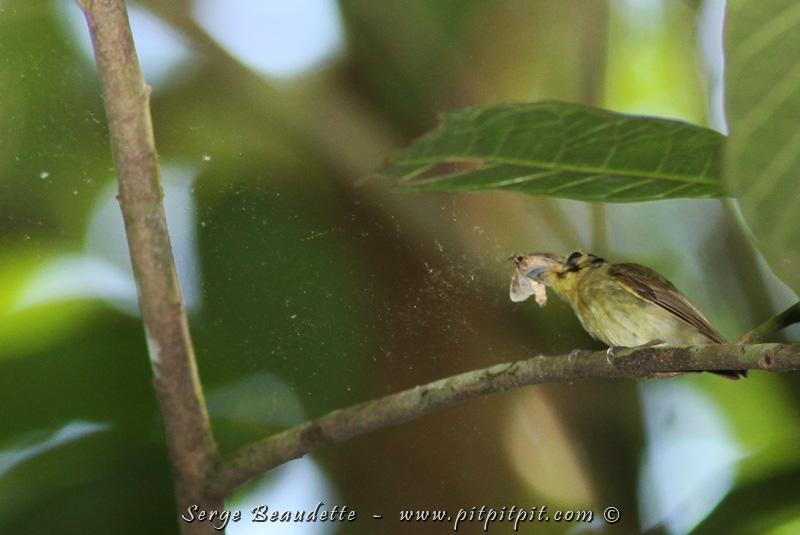 Il attrape un papillon quand même assez gros pour lui (tout étant relatif) et en le frappant sur la branche et en le frottant, toutes les ailes se mettent à perdre leurs petites écailles et ça fait une pluie d'écailles d'ailes de papillon! Spécial à voir!