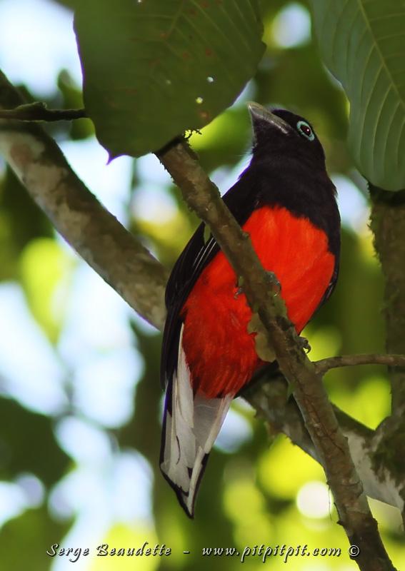 AH! ENFIN! Un que nous tentions de voir depuis un moment déjà!!! Une espèce cible de l'endroit, notre seule chance de le voir dans notre circuit: le splendide Trogon de Baird!!! Semi-endémique lui aussi, il est éclatant! Et c'est un oiseau assez gros quand même, dans la même famille que le Quetzal resplendissant.