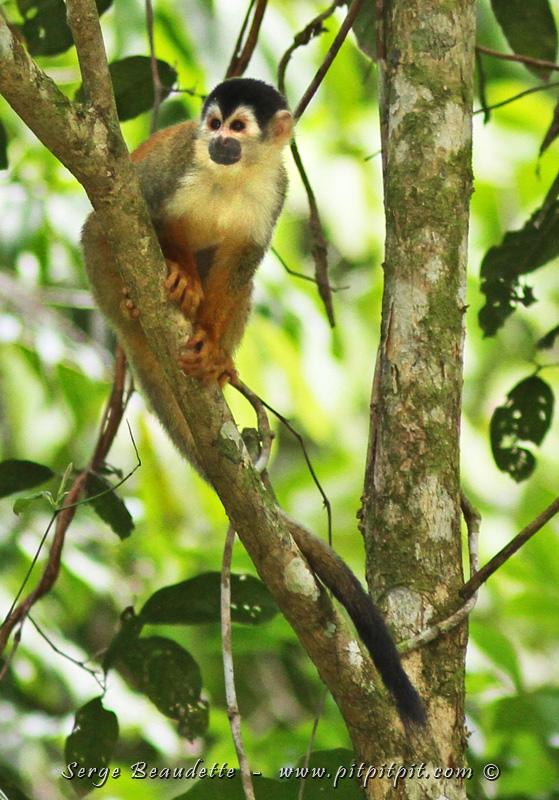 """La grande surprise du séjour ici cette année, c'est l'omniprésence d'un groupe d'une cinquantaine d'individus du TRÈS RARE """"Mono titi"""", du Singe écureuil... Qui, sans doute a compris que vivre près des humains... des humains qui aiment la nature, c'est peut-être un bon endroit où certains prédateurs n'osent pas aller!"""