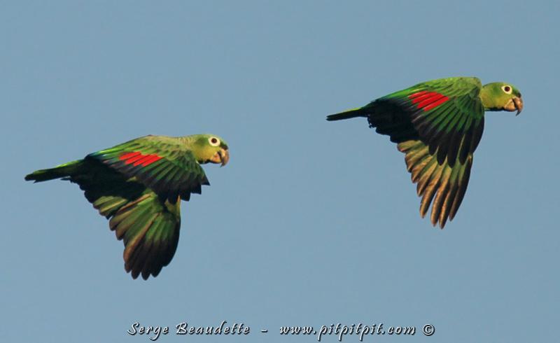 D'autres perroquets très très bruyants, et étrangement pas vues si souvent (considérant que nous en entendons parfois une cinquantaine au coucher du soleil), des Amazones poudrées!   ...Elles passent elles aussi, en couple... ET... À HAUTEUR D'OEIL!!! On peut apprécier toutes les couleurs visibles en vol seulement... et seulement sur le dessus des ailes!