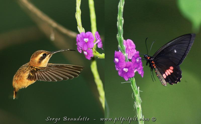 """PENDANT le déjeuner, juste à côté de nos tables luxueuses, les verveines attirent colibris et papillons. Ce TRÈS TRÈS MINUSCULE Ermite à gorge rayée n'est guerre plus grosse qu'un papillon de taille """"normale""""...! Elle est mignonne comme tout!"""