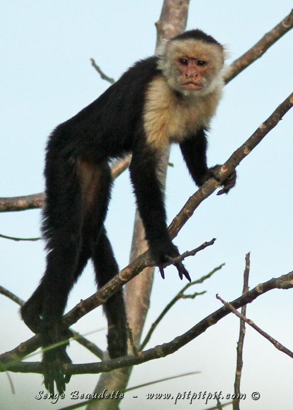 """Sur le chemin du Lodge (et nous le reverrons au Lodge), nous observons la 3e espèce de singe du circuit: le Capucin à face blanche. Malgré sa petite taille, les scientifiques le considèrent dans les ligues majeures au niveau de son intelligence! Ils le mettent au même rang que les """"Grands primates"""" (Bonobo, Chimpanzés,...) Avec son visage sans poils, c'est aussi celui qui fait le plus penser à l'humain..."""