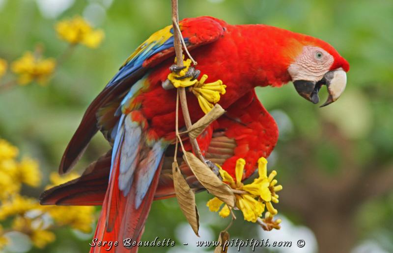 Si proche que je ne peux pas le photographier en entier... Quel oiseau flamboyant, vocal, exubérant! Chef-d'oeuvre de la nature... peint exclusivement avec les couleurs primaires à leur plus vif!