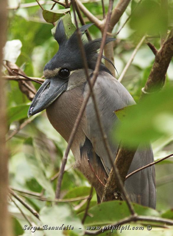 L'espèce que tout le monde a hâte de voir dans ce tour en bateau, c'est l'Étrange Savacou huppé!!! Avec son énorme bec à la forme particulière, et ses énormes yeux sombres d'oiseau au mode de vie nocturne, qui lui donnent un air docile... Et ici, c'est la première fois que je le vois avec les plumes de sa couronne relevées, comme s'il arborait une couronne d'autochtone...!