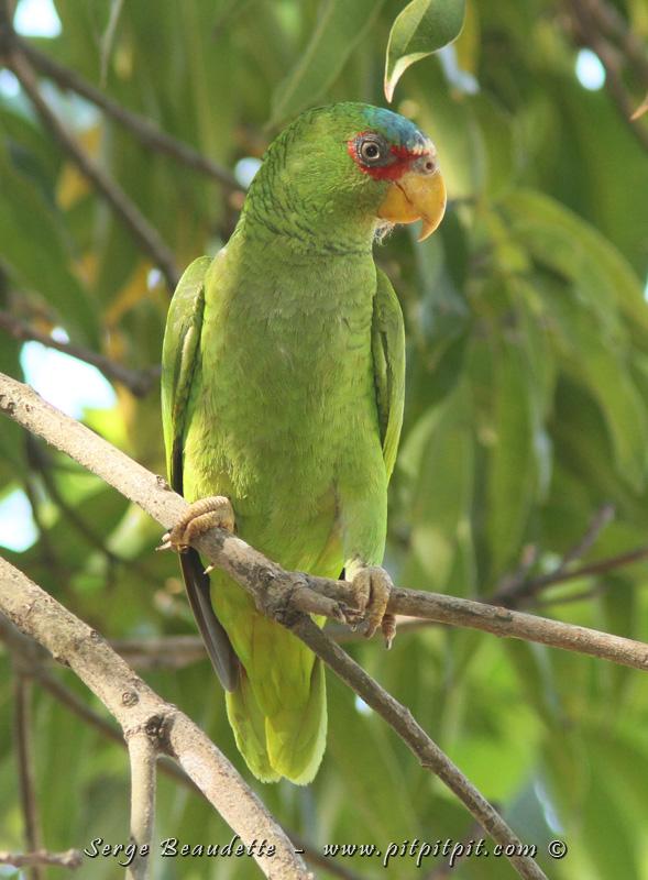 Comme pour le Trogon, nous revoyons parfois les mêmes familles, mais avec des espèces différentes! C'est le cas des Amazones aussi, alors qu'ici, nous rencontrons la nouvelle Amazone à front blanc! C'est toujours TRÈS SPÉCIAL de voir un si gros oiseau, pourtant de couleurs HYPER VIVES (vert fluo, rouge, bleu, jaune) se confondre tant dans le décor.