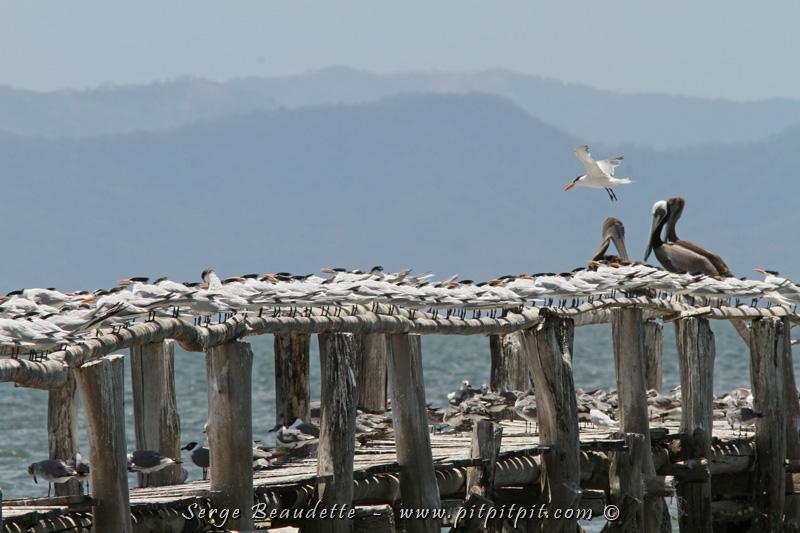 Vraiment le paradis! La forêt tropicale sèche, juste à côté d'une vaste étendue d'eau (Golfe de Nicoya), attirant autant les oiseaux de forêt sèche que les oiseaux aquatiques! Le long quai ici se remplis de centaines d'oiseaux à marée haute!