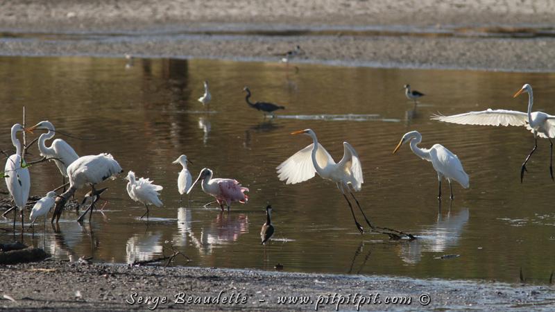 Dans ce point d'eau, il y a autant l'abondance des nombres d'oiseaux que la diversité des espèces! Sur cette seule prise, nous pouvons voir : la Grande Aigrette, l'Aigrette neigeuse, le Tantale d'Amérique, la Spatule rosée, l'Échasse d'Amérique, le Bécasseau à échasses et l'Aigrette tricolore! Juste à côté, il y a des Sarcelles, 9 autres espèces de limicoles, d'autres Hérons et Aigrettes, des Ibis, des Martin-Pêcheurs, Anhinga,… et même la Paruline des mangroves!