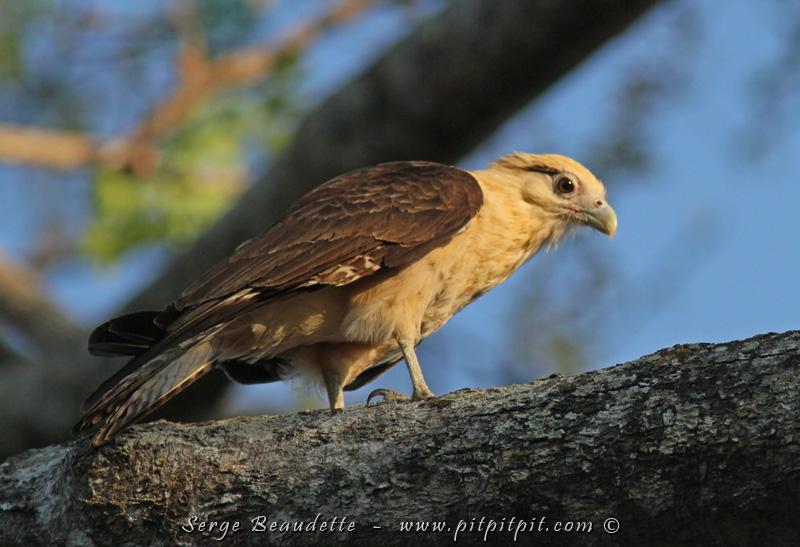 Un prédateur très vocal ici, le Caracara à tête jaune, qu'on voit plus souvent en vol que perché… et qu'on entend plus souvent qu'on le voit! Mais ici, il vient se percher bien en évidence juste devant moi!!!
