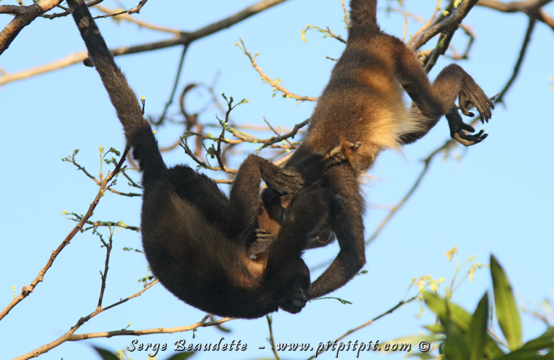 Bien qu'ils aient un rythme beaucoup plus lent que les Singes écureuils et les Capucins à face blanche vus précédemment, ils sont joueurs et câlineux aussi! Suspendus par leur queue préhensible, ils font du trapèze pas de mains, pas de pieds!