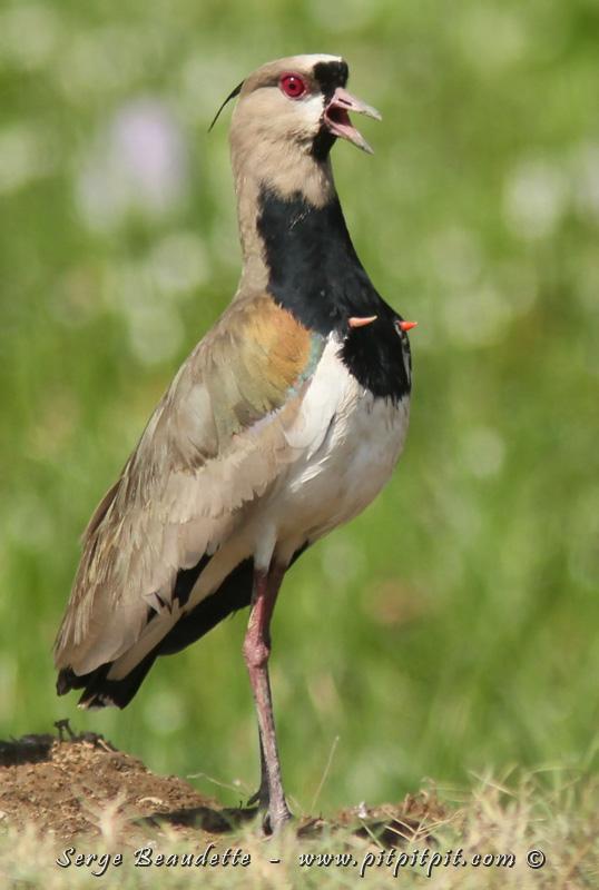 """...ses griffes, présentes aux """"poignets"""" de ses ailes!! Eh oui! Il a encore les vestiges de ces griffes qu'avaient jadis les oiseaux, et les sort pour la grande séduction!"""
