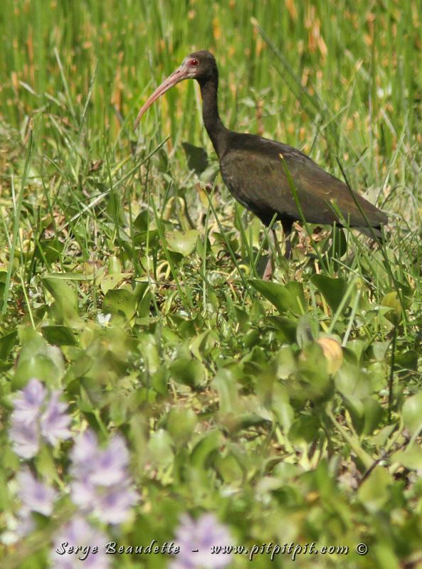 L'ibis à face nue, une autre espèce aquatique!