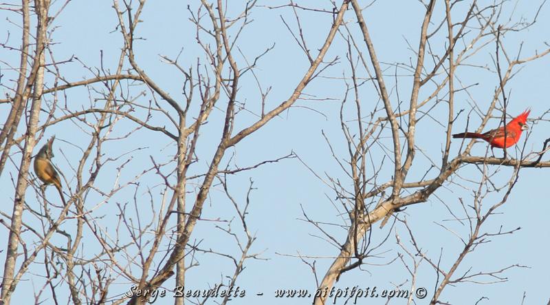 Et le plus spectaculaire des oiseaux de la journée, attendu de tous et toutes : le Cardinal vermillon. Un endémique régional! Il ressemble à notre Cardinal rouge mais avec une huppe mes amis! À rendre jaloux n'importe quel mâle Nord-Américain! Une beauté exceptionnelle! Ici, on voit le mâle à droite et la femelle à gauche.