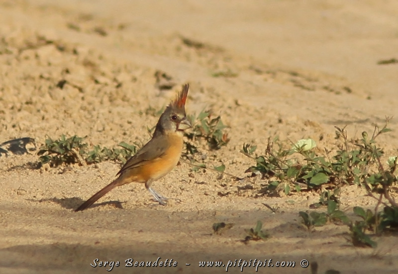 Et voilà la SUPERBE femelle Cardinal vermillon!