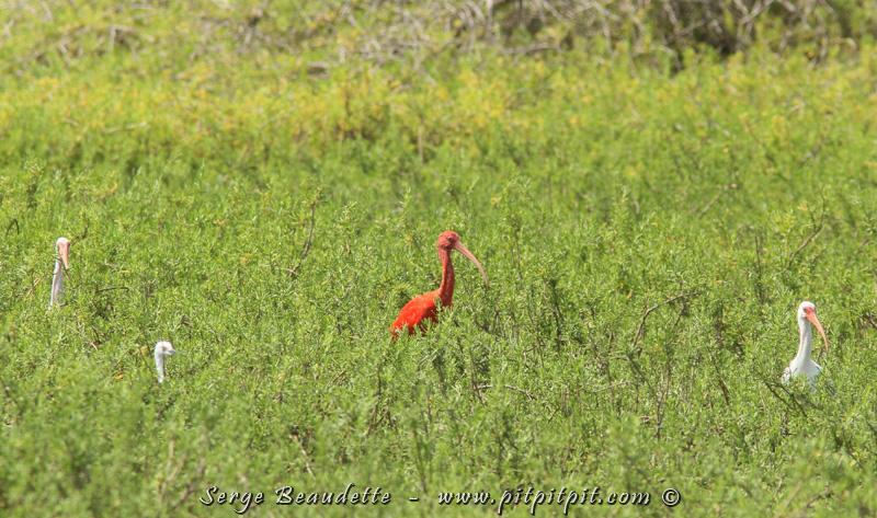C'est la première fois que je vois l'Ibis rouge! J'avais essayé de le voir à plusieurs endroits, en vain, et j'ai enfin eu la chance le voir! Comme le veut la tradition, je me suis bien roulé par terre! ;-)